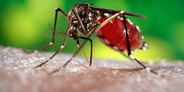 dengue fever and symptoms english essay knowledgeidea